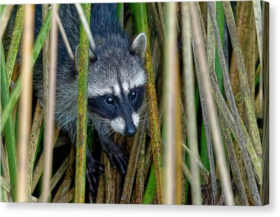 Through The Reeds - Raccoon Canvas Print