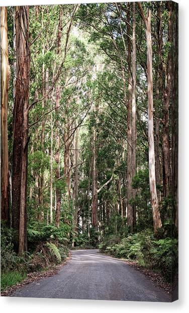 Great Otway National Park Canvas Print - Through The Trees by Catherine Reading