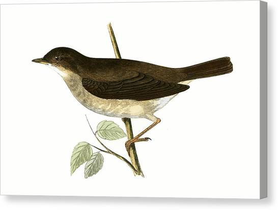 Flycatchers Canvas Print - Thrush Nightingale by English School