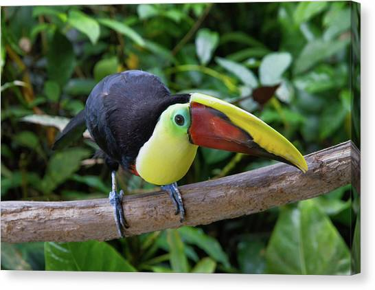 Tico Toucan Canvas Print