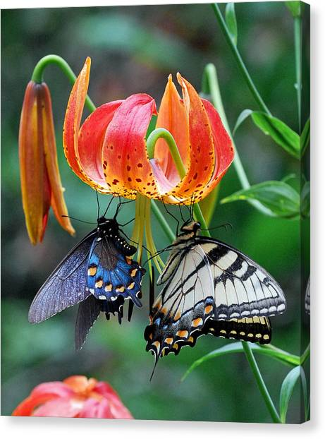 Tiger And Black Swallowtails On Turk's Cap Lilly Canvas Print