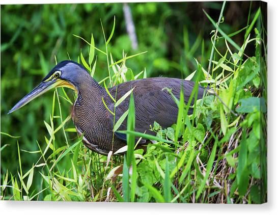 Tiger Heron 2 Canvas Print