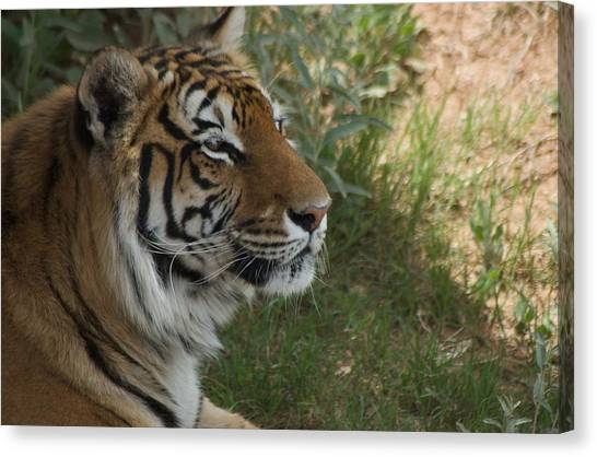 Tiger I Canvas Print by Susan Heller