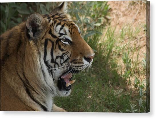 Tiger II Canvas Print by Susan Heller