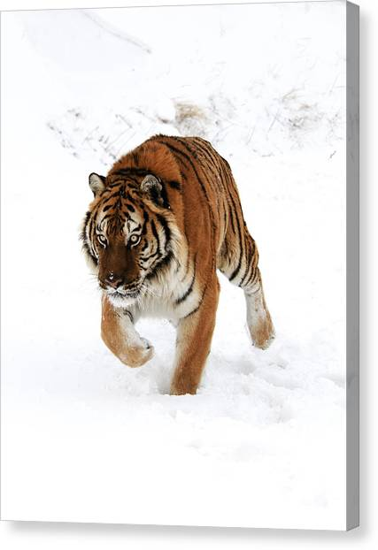 Tiger In Snow Canvas Print