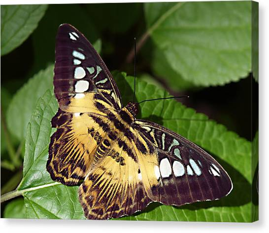 Tiger Print --- Clipper Butterfly Canvas Print