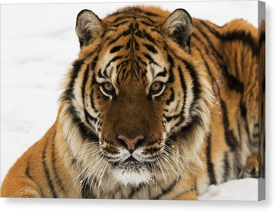 Tiger Stare Canvas Print