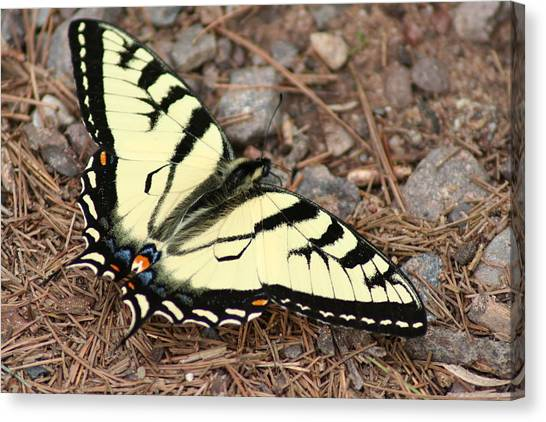 Tiger Swallowtail Canvas Print by Jeff VanDyke