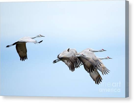 Sandhill Crane Canvas Print - Tight Formation by Mike Dawson