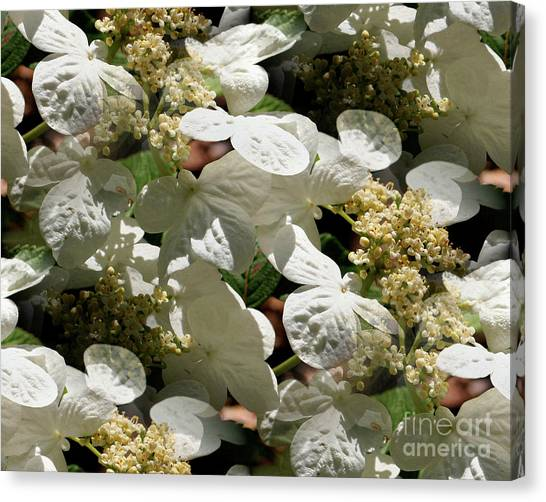 Tiled White Lace Cap Hydrangeas Canvas Print