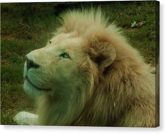 Canvas Print featuring the photograph Timbavati White Lion by Chris Flees