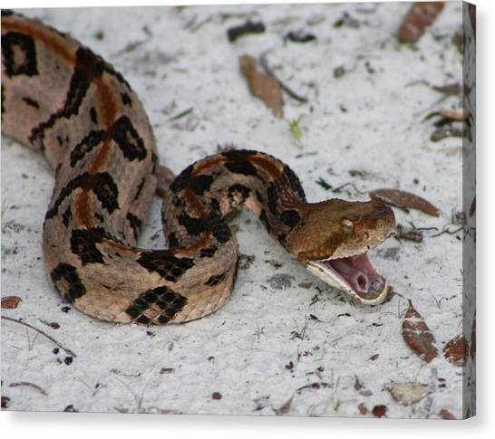 Timber Rattlesnakes Canvas Print - Timber Rattler by Dana  Oliver