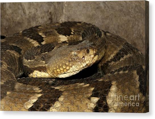 Timber Rattlesnakes Canvas Print - Timber Rattlesnake, Crotalus Horridus by Scott Camazine