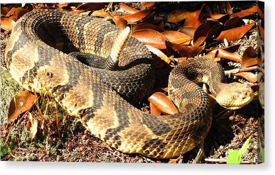 Timber Rattlesnakes Canvas Print - Timber Rattlesnake Horizontal by Joshua Bales