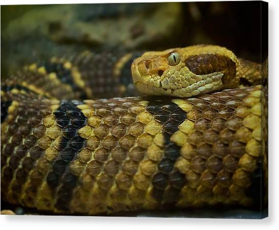 Timber Rattlesnakes Canvas Print - Timber Rattlesnake by Michele Stoehr