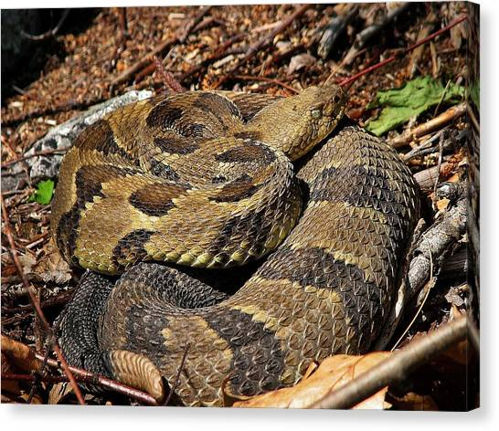 Timber Rattlesnakes Canvas Print - Timber by Steven Shaffer