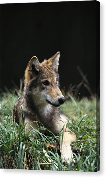 Portland Timbers Canvas Print - Timber Wolf Canis Lupus Portrait by Gerry Ellis