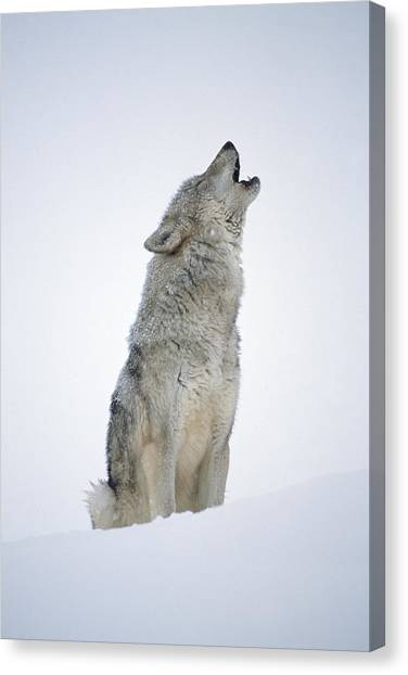 Howling Wolves Canvas Print - Timber Wolf Portrait Howling In Snow by Tim Fitzharris