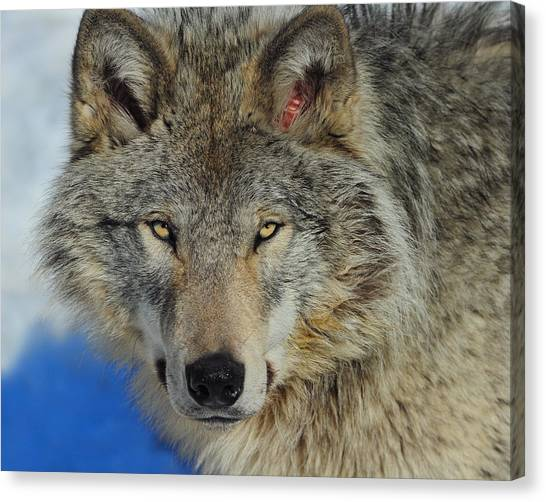 Timber Wolf Portrait Canvas Print