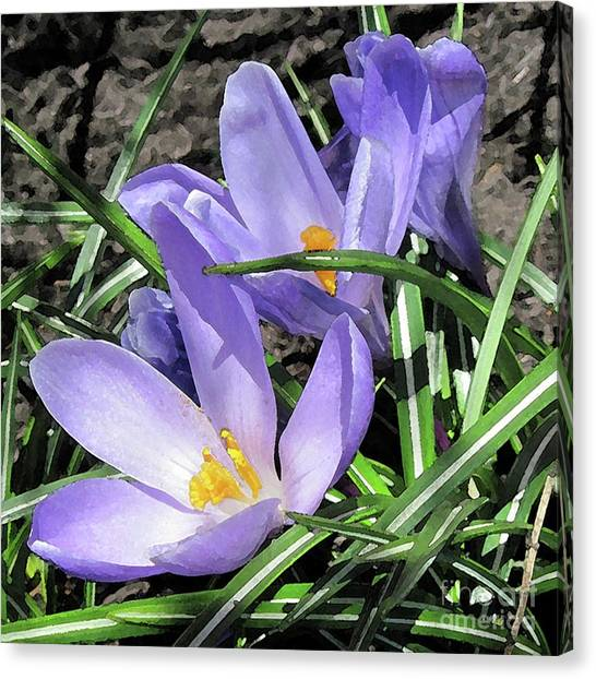 Time For Crocuses Canvas Print