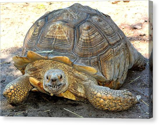 Timothy The Giant Tortoise Canvas Print