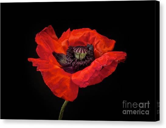 Botanical Garden Canvas Print - Tiny Dancer Poppy by Toni Chanelle Paisley