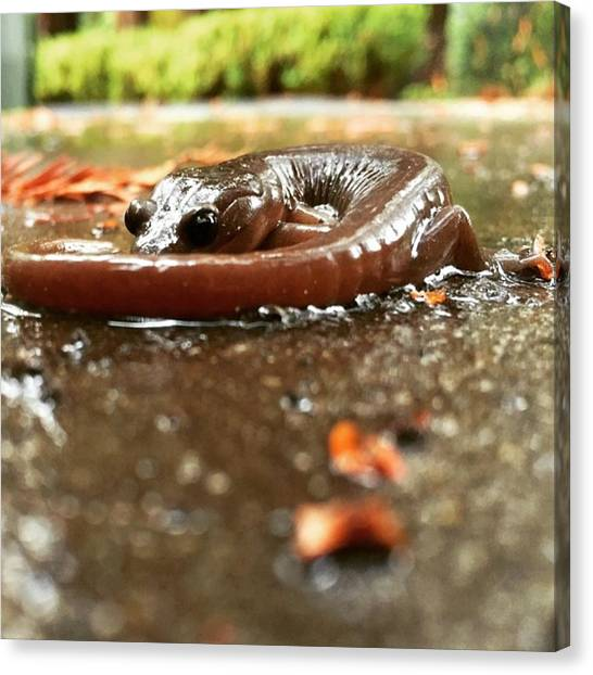 Salamanders Canvas Print - Tiny Dinosaur In The Rain by Amy Beam