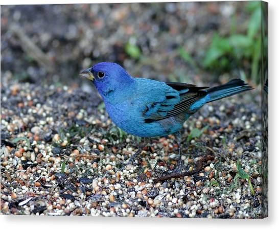 Tiny Indigo Bunting Canvas Print