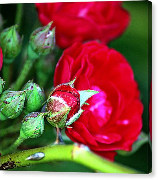 Tiny Red Rosebuds Canvas Print