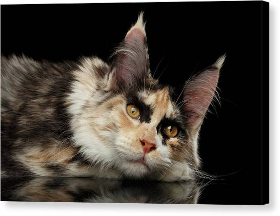 Tired Maine Coon Cat Lie On Black Background Canvas Print