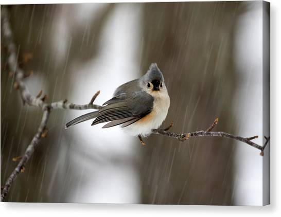 Titmouse During Snow Storm Canvas Print