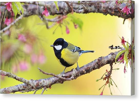 Titmice Canvas Print - Titmouse by Jackie Russo