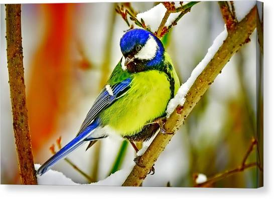 Titmice Canvas Print - Titmouse by Mariel Mcmeeking