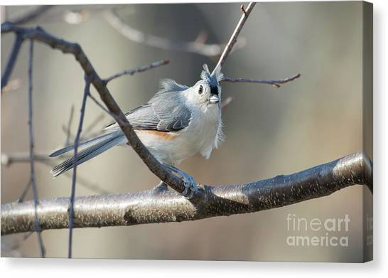 Canvas Print featuring the photograph Titmouse  by Michael Moriarty