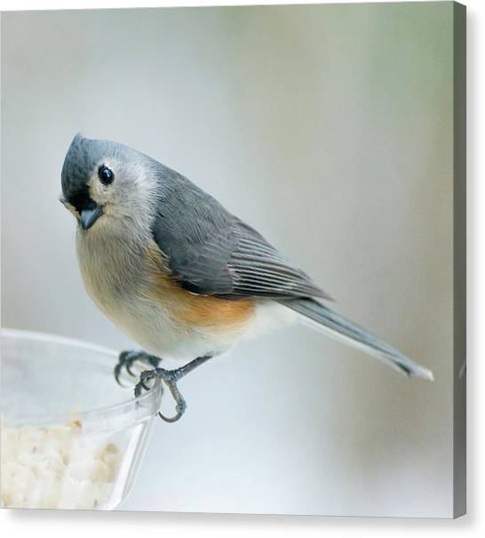 Titmouse With Walnuts Canvas Print