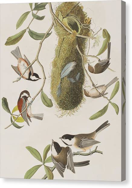 Titmouse Canvas Print - Titmouses by John James Audubon