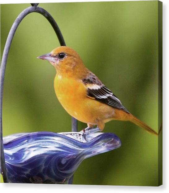 Ornithology Canvas Print - To Remind Us Of Summer, A Juvenile by Heidi Hermes