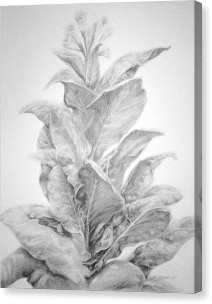 Tobacco  Canvas Print