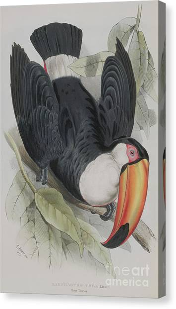 Toucans Canvas Print - Toco Toucan by Edward Lear