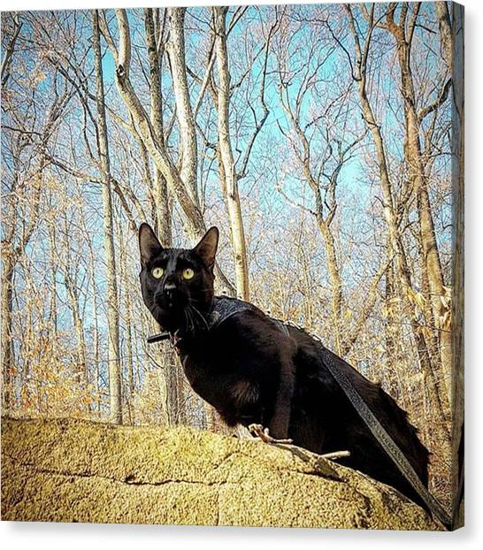 Panthers Canvas Print - Today I Was A Mountain Panther. ​#cat by Sirius Black Adventure Cat