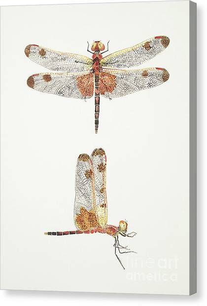 Top And Side Views Of A Male Calico Pennant Dragonfly Canvas Print