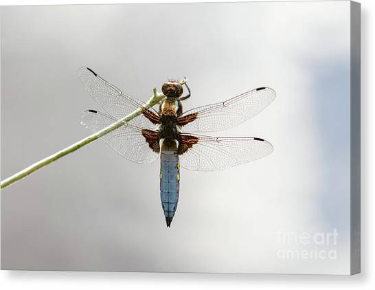 Top Or Dorsal View Of A Single Male Broad-bodied Chaser Dragonfl Canvas Print