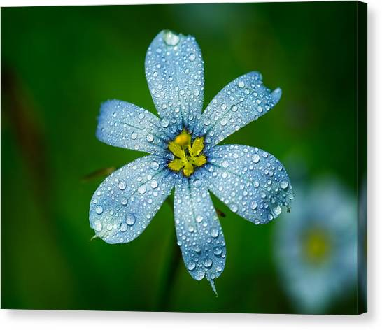 Top View Of A Blue Eyed Grass Flower Canvas Print