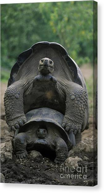 Tortoise Love - Galapagos Canvas Print