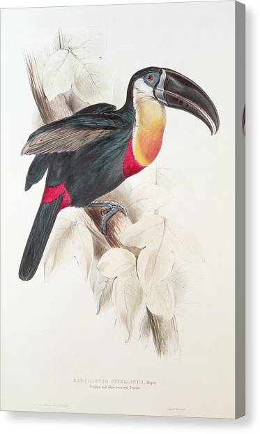 Toucans Canvas Print - Toucan by Edward Lear