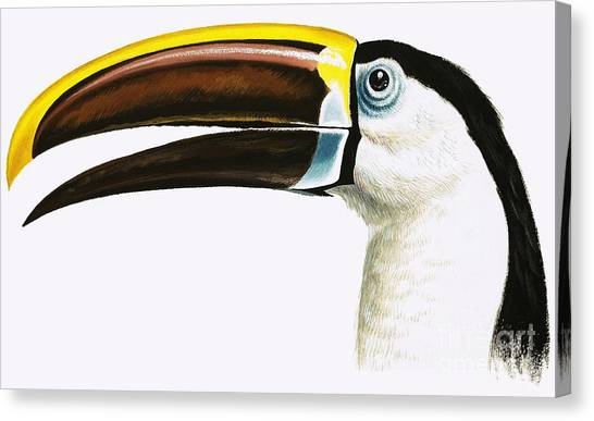 Toucans Canvas Print - Toucan by English School