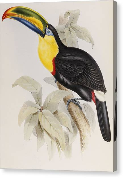 Toucans Canvas Print - Toucan by John Gould