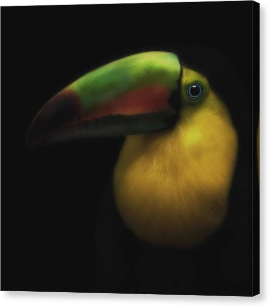 Toucan On Black Canvas Print