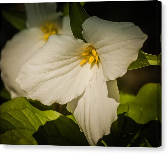 Touched By A Trillium Canvas Print