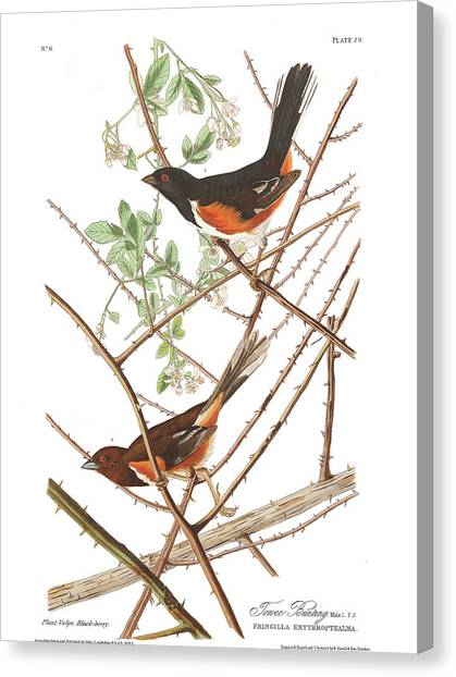 Bunting Canvas Print - Towee Bunting by John James Audubon